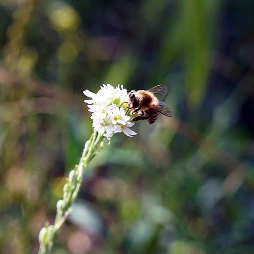 Balade nature abeille