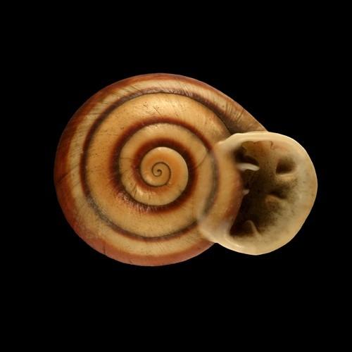 Anostoma octodentatus