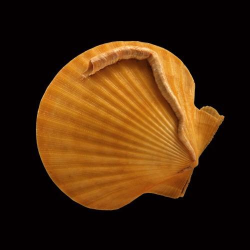 Chlamys circularis