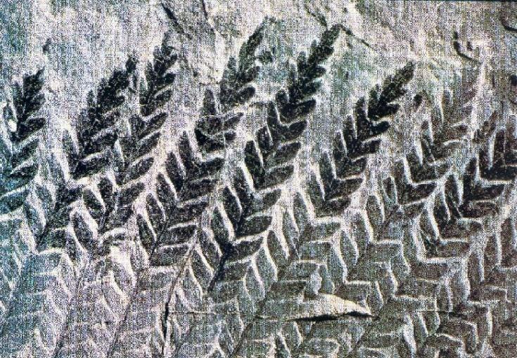 Fronde de fougère fossilisée
