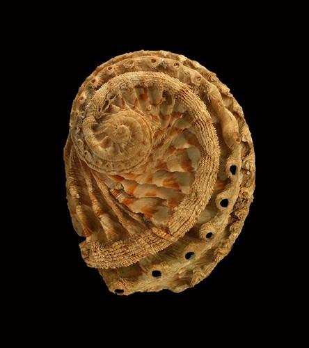 Haliostis scalaris
