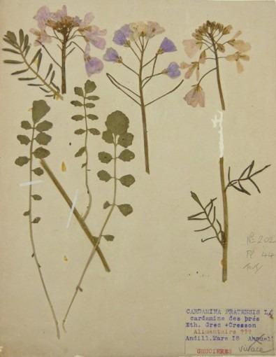 Herbiers, cardamina pratensis