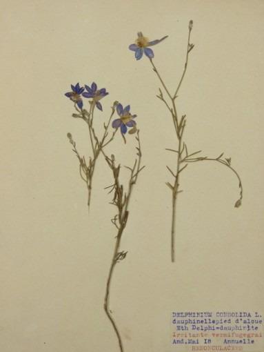 Herbiers, Delphinium consolida