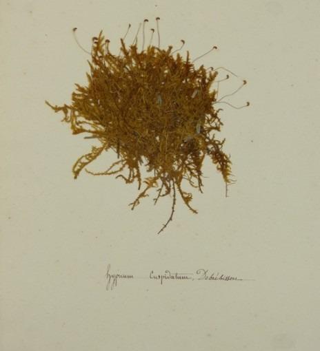 Herbiers, hyprium cuspidatum