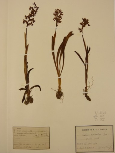 Herbiers, Orchis mascula