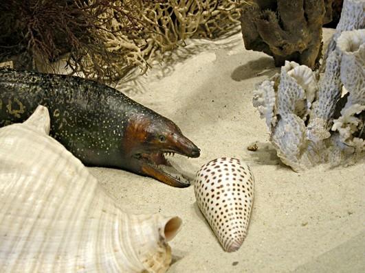 Murène léopard (Muraena helena)