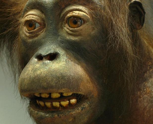 Orang-outan (Pongo pygmaeus)