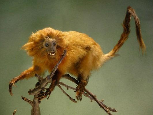 Petit singe lion doré ou Tamarin lion doré (Leontideus rosalia)