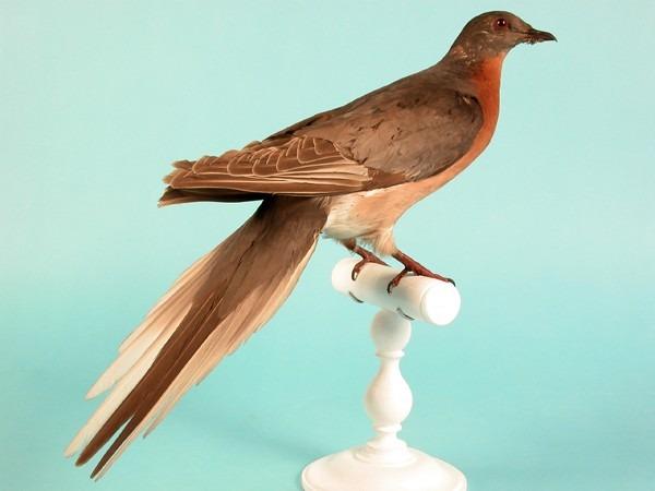 Pigeon migrateur Américain  (Ectopistes migratorius)